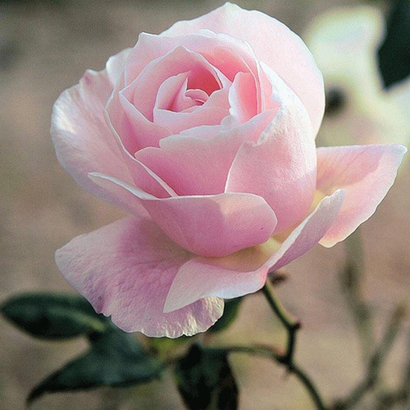 benjamin_moore_Rose_Garden_1353(10)